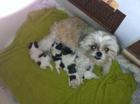 Chico werd mijn tweede hond. Een Shih tzu, geboren in Haaksbergen van een niet officiële fokker. Maar wel mensen die heel veel liefde geven aan de honden.