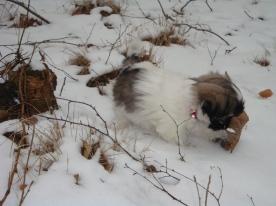 Van pup af aan is dit neusje al volop aan het werk. Met 8 weken mocht Chico al sneeuw leren kennen.